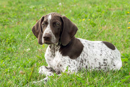 German Shorthaired Pointer, German kurtshaar one spotted puppy lying on green grass, looking attention to the side, intelligent look and beautiful dog, close-up portrait, Stock Photo