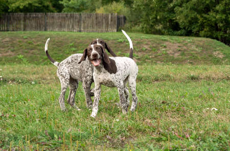 german shorthaired pointer, german kurtshaar two puppies age three months standing on the grass, silly face, funny animals,