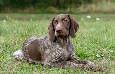 german shorthaired pointer, german kurtshaar one spotted puppy lying on green grass, looking straight into the eyes, intelligent look and sweet dog, in the mouth grass, close-up portrait Banco de Imagens