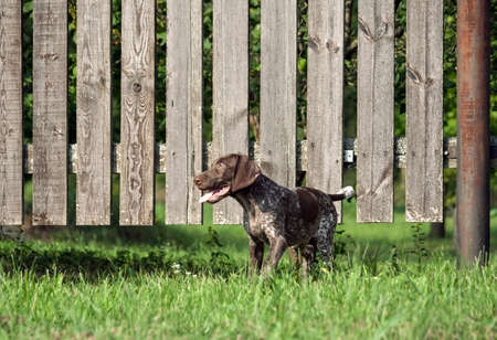 german shorthaired pointer, german kurtshaar one spotted puppy standing on the grass near the wooden fence, the brown color in a white spot