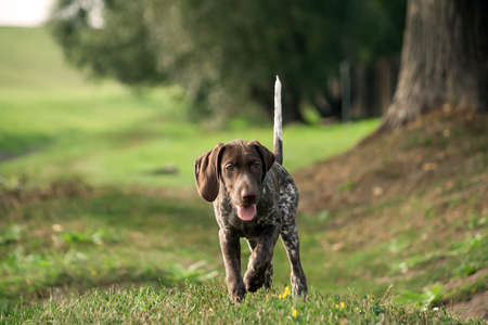 german shorthaired pointer, german kurtshaar one spotted little puppy running along the grass on the street, a tree trunk and a field on the background, browns color, track, path Banco de Imagens