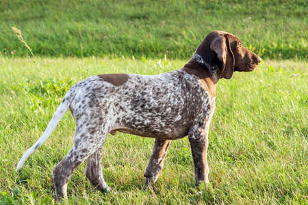 german shorthaired pointer, german kurtshaar one spotted puppy stand up with head up, profile photo, against the background of green grass, sunny