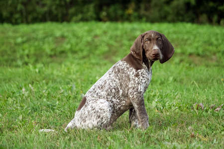 german shorthaired pointer, german kurtshaar one spotted puppy sit on the green grass outside, brown ears and white in the spot coloring, intelligent eyes look into the camera