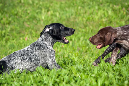 german shorthaired pointer, kurtshaar two spotted little puppy, black and brown in a white spot, playing on the grass together, funny muzzles, sunny day, bright photo