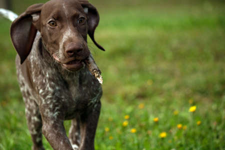 german shorthaired pointer, kurtshaar one brown spotted puppy running fast across the field with a stick in the teeth, ears wrapped back, close-up, dog on the left side of the photo