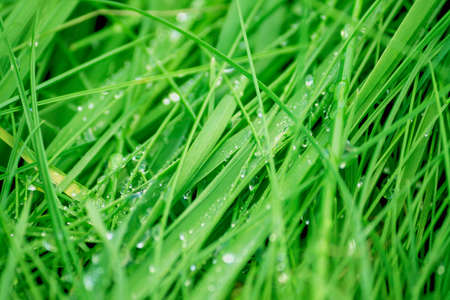 wet green grass growing in the field, close-up of a drop of dew in daylight, Banco de Imagens