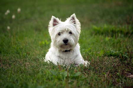 west highland white terrier dog breed, lies on the green grass in the evening on the nature, small black eyes look to the camera, white hair, cute animal, Banco de Imagens