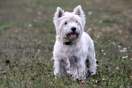 west highland white terrier dog breed, stand on the green grass in the evening on the nature, small black eyes looking away, white hair, cute animal,