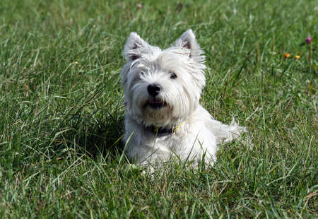 west highland white terrier dog breed, lies on the green grass in the evening on the nature, small black eyes looking away, white hair, cute animal,