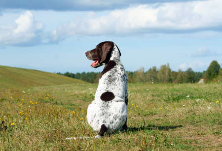 german shorthaired pointer, german kurtshaar one spotted puppy sitting with his back, his head turned in profile, the animal is in a glade with hills, autumn yellowish grass and trees in the distance,