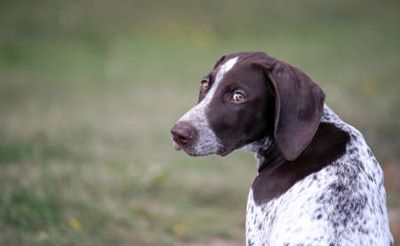 german shorthaired pointer, german kurtshaar one spotted puppy sitting with his back, his head turned back and his eyes are looking directly at the camera, brown ears and amber eyes, background