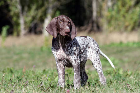 german shorthaired pointer, german kurtshaar one brown spotted puppy calm look, standing on a path, surrounded by green grass on the field, a small cute dog, full length photo,