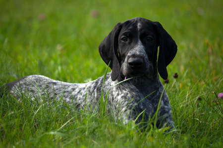 german shorthaired pointer, kurtshaar one spotted black puppy lying on green grass, face turned to camera, evening, close-up portrait,