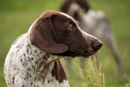 german shorthaired pointer, german kurtshaar one spotted puppy standing on a meadow in profile, ears developing in the wind, on the outline of the outline of the second dog blurry