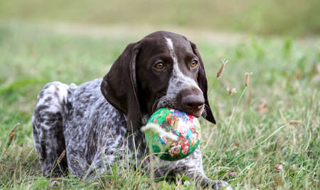 german shorthaired pointer, kurtshaar one brown spotted puppy lying on the green grass, holding a green little ball in his mouth, animal looks slightly to the side, the head is bent to the ground, Editorial