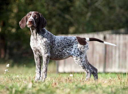 german shorthaired pointer, german kurtshaar one brown spotted puppy standing on a green grass on the field, a small cute dog, full length photo, stretched out gracefully, tensed, background trees