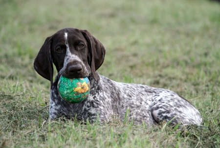 german shorthaired pointer, kurtshaar one brown spotted puppy lying on the green grass, holding a green little ball in his mouth, closeup photo,