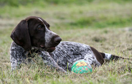 german shorthaired pointer, kurtshaar one brown spotted puppy lying on the green grass, next to it there is a green little ball, the dog is looking to the side, the profile photo is close up,