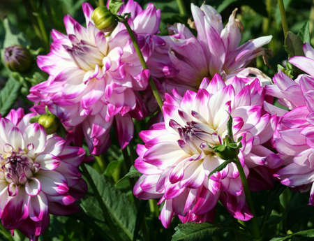 who dun it sort of asteraceae large purple flowers with white, yellow flowers, yellow flowers, Banco de Imagens