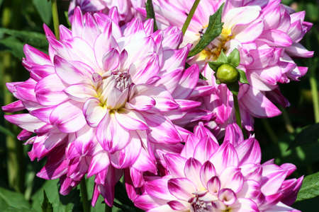 who dun it, sort of asteraceae, one flower, close-up, all and two half, large purple flowers with white color and a yellow core, sunny autumn day, green foliage of the plant on the background, Banco de Imagens