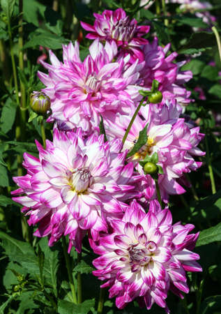 who dun it sort of asteraceae bouquet of a lot of large purple flowers with white color and a yellow core, sunny autumn day, green foliage of the plant on the background,