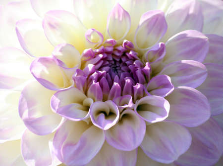 variety of chrysanthemum midnight moon dahlia, one flower close-up, lilac bright petals smoothly turning into a white and yellow plant shade, a sunny autumn day, half of the flower by sunlight, Banco de Imagens
