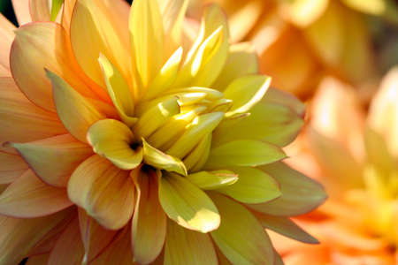 candlelight dahlia variety of chrysanthemum, one flower in close-up, orange bright petals smoothly turning into the golden core of the plant, a sunny autumn day, background blurry plants of the same Banco de Imagens