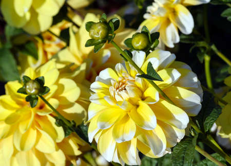 variety of chrysanthemum bahama lemon dahlia, one flower in close-up, one big yellow with white petals on the tips, illuminated by sunlight, in the background