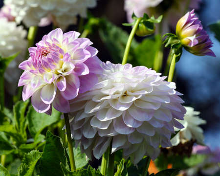 variety of chrysanthemum midnight moon asteraceae plant, lilac bright petals smoothly turning into a white and yellow plant shade, a sunny autumn day, two flowers in full bloom and a blossoming bud,
