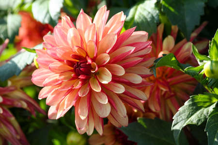 variety of chrysanthemum crazy legs dahlia, one flower in close-up, one large orange-red-pink flower surrounded by green foliage and similar plants, a sunny autumn day, a bright view, Banco de Imagens