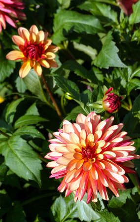 variety of chrysanthemum crazy legs dahlia, one flower close-up, one large orange-red-pink flower surrounded by green foliage and similar plants, sunny autumn day, bright view, vertical photo