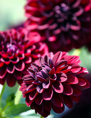 variety of chrysanthemum fidalgo blacky asteraceae plant, three large dark purple flower with pinkish and whitish spot, foliage of the plant in the background, a sunny autumn day,