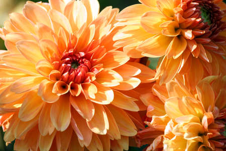 variety of chrysanthemum, asteraceae plant, three large orange flowers in parts, the core is red, sunny autumn day, closeup, lit by sunlight,