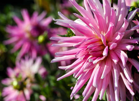 variety of chrysanthemum amy k asteraceae plant, one large pink flower with a yellowish core, thin long petals, the plant is located at the left side of the photo, against a background blurred