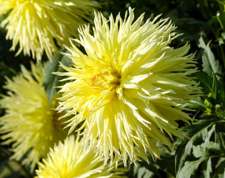 one large aster flower close-up, a plant of yellow color with a lot of thin petals in the shape of a ball, in the background the same flowers parts, a sunny autumn day, chrysanthemum, asteraceae Banco de Imagens