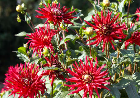 dahlia negerkop asteraceae variety of chrysanthemum, bright burgundy flowers with thin long petals and a green heart, a lot of flowers on the bushes in the garden,