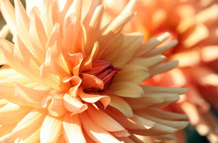 dahlia, asteraceae variety of chrysanthemum, gentle color yellow-orange flowers, the plant is lit by the sun, cream-colored petals, bright orange core 版權商用圖片