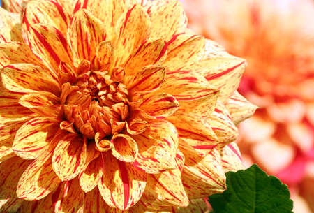 dahlia elijah mason asteraceae variety of chrysanthemum, bright yellow-orange flowers with interspersed red dots and long strips, single large plant partially in the same flower Banco de Imagens