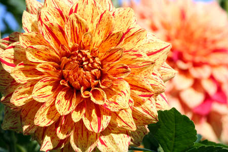 dahlia elijah mason asteraceae variety of chrysanthemum, bright yellow-orange flowers with interspersed red dots and long strips, single large plant in the background Banco de Imagens