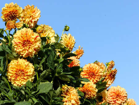 dahlia elijah mason asteraceae variety of chrysanthemum, bright yellow-orange flowers, interspersed red dots and long strips, lot flowers surrounded by blue sky photo diagonally