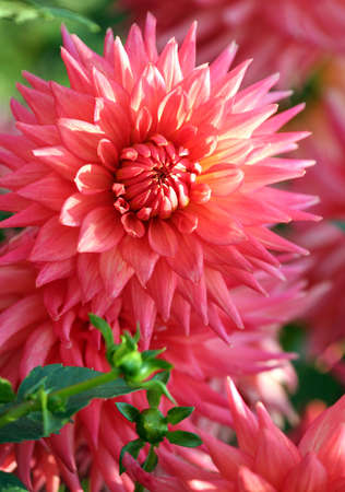 dahlia, asteraceae variety of orange pennant chrysanthemum, large flower close-up of a delicate pinkish-orange color, salmon color, unusual and bright with pointed petals on the tips, sunny Banco de Imagens