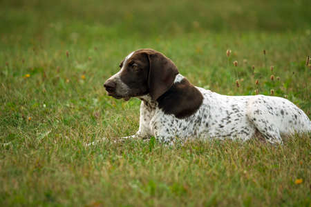 german shorthaired pointer, german kurtshaar one brown spotted puppy lies on a green grass on a field, looks carefully into the distance, the smart look is a beautiful animal, body and face in profile