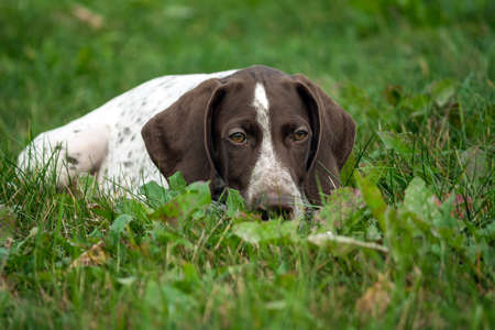 german shorthaired pointer, german kurtshaar one brown spotted puppy lies green grass field, close-up portrait, looking sadly down, laying down on his grass, an unhappy, brooding look, emotionally