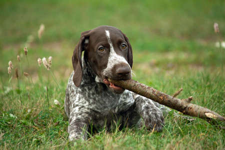 german shorthaired pointer, german kurtshaar one brown spotted puppy lying on green grass on field, closeup portrait, looking at the camera, in the mouth holding a stick