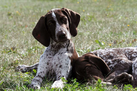 german shorthaired pointer, kurtshaar two brown spotted puppy, portrait of two animals, one asleep with his head on the grass, and looks into the camera, amusing view,