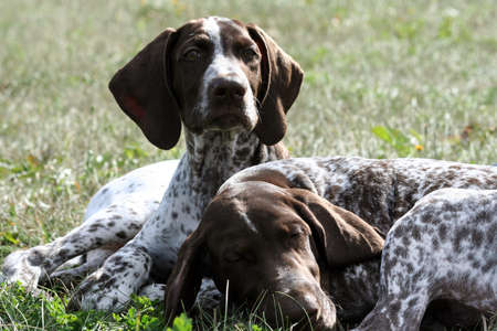 german shorthaired pointer, kurtshaar two brown spotted puppy, portrait of two animals, one asleep with his head on the grass,