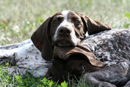 german shorthaired pointer, kurtshaar two brown spotted puppy, portrait of two animals, one asleep with his head on the grass, the second put his head on the first and looks at camera, sunny day, rest