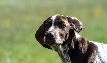 german shorthaired pointer, german kurtshaar one brown spotted puppy, close-up portrait, dog on the right side of the photo, funny view, one ear curled back, looking into the camera with narrowed eyes