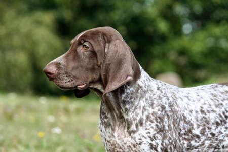 german shorthaired pointer, german kurtshaar one brown spotted puppy, portrait in profile close-up and part of the body, the dog on the right side of the photo, focusedly looking into the distance,