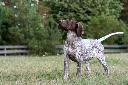 german shorthaired pointer, german kurtshaar one brown spotted puppy, standing with its head on a green grass, photo in full growth of the animal, in the background of trees and a wooden fence, Banco de Imagens